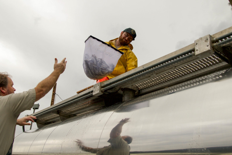 Joe Amoroso of California Fish and Wildlife's Feather River Hatchery takes a net full of Chinook winter-run salmon from the Service's Jeff Freund at Coleman National Fish Hatchery Complex in Anderson, CA. Photo by Steve Martarano, USFWS via Flickr